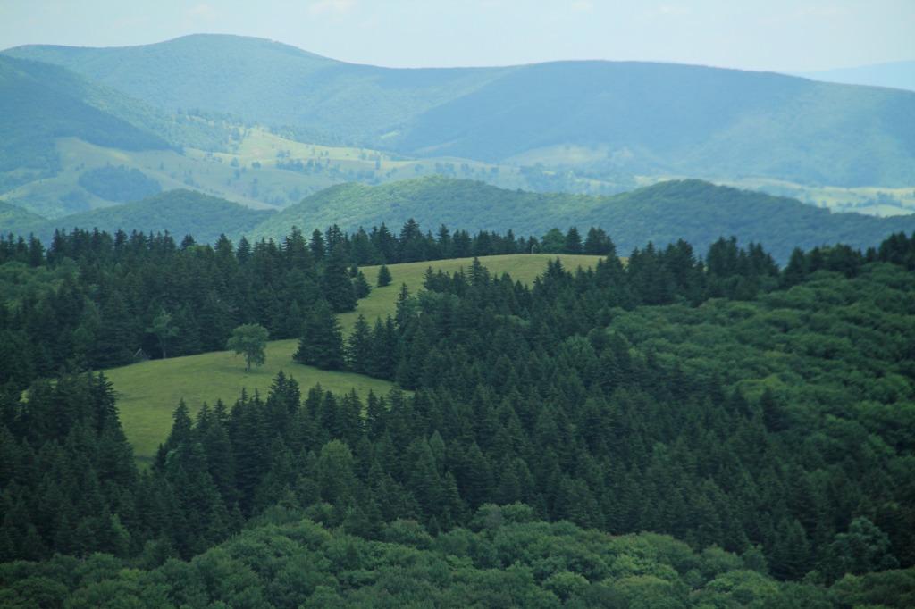Saplling_Ridge_Red_Spruce